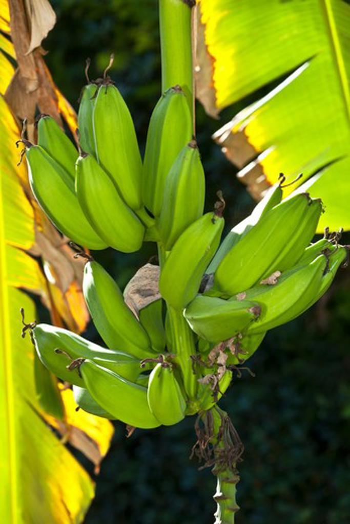 Stock Photo: 4141-63245 Plantain Banana  (Musa Paradisiaca).  Banana Fruits Hanging From Tree  Andalusia, Spain. January