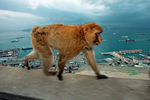 Barbary Macaque,  (Macaca Sylvanus).  Female Walks Above The Straits Of Gibraltar In Very Late Evening Light.  Gibraltar, Europe : Stock Photo