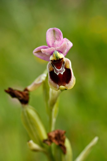 Sawfly Orchid,  (Ophrys Tenthredinifera).  Andalucia, Spain. March : Stock Photo