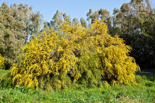 Swamp Wattle  (Acacia Retinodes).  Invasive Shrub Or Tree Of Southern Spain. Native Of Australia.  Andalucia, Spain, March : Stock Photo