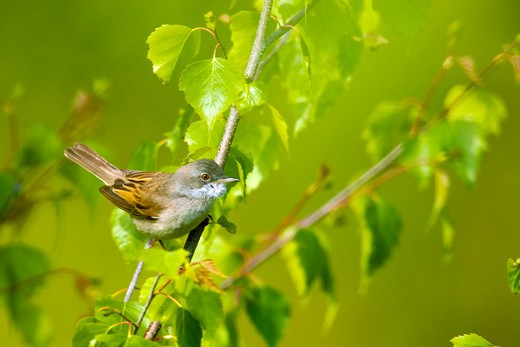 Stock Photo: 4141-63451 Whitethroat  (Sylvia Communis).  Skulking In Silver Birch Tree.  Forest Of Dean, Uk. May