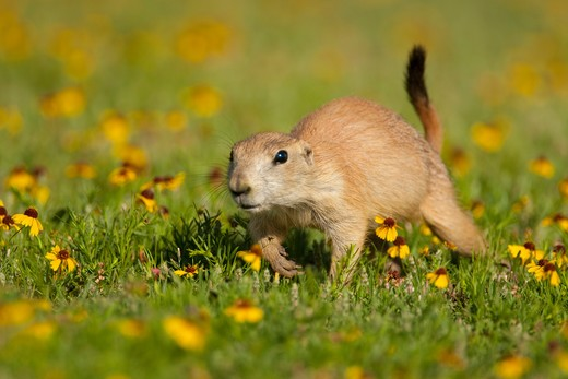 Stock Photo: 4141-63776 Black-Tailed Prairie Dog (Cynomys Ludovicianus), Young Animal Walking Amid A Carpet Of Yellow Sneezeweed Flowers, Wichita Mountains National Wildlife Refuge, Oklahoma, Usa  (Digitally Retouched Image - Distraction Removed Lower L)