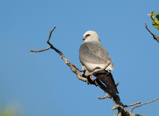 Mississippi Kite (Ictinia Mississippiensis), Wichita Mountains National Wildlife Refuge, Oklahoma, Usa : Stock Photo