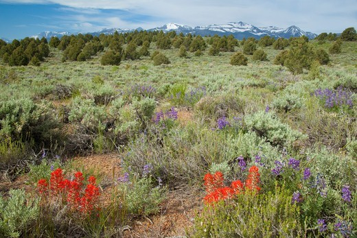 Stock Photo: 4141-63806 Sagebrush (Artemisia Tridentata) Scrub Habitat With Lupine (Lupinus Sp. ) And Paintbrush (Castilleja Sp.) In Bloom In June, Mono Lake Basin, California, Usa