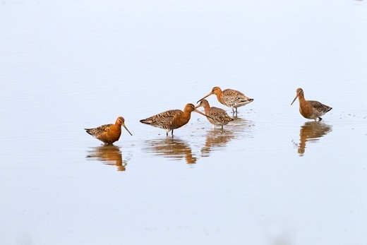 Stock Photo: 4141-63957 Black-Tailed Godwits Limosa Limosa Flock Feeding