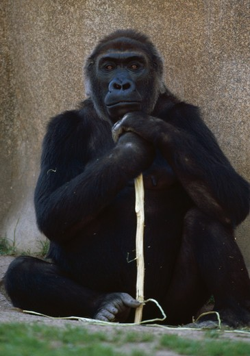 Stock Photo: 4141-6404 western lowland gorilla female gorilla gorilla gorilla with stick san diego zoo, usa