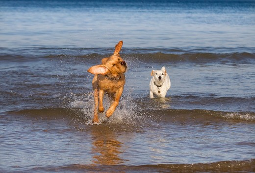 Yellow Labrador And Jack Russell In Action Along The Beach : Stock Photo