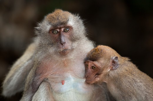 Stock Photo: 4141-64131 Crab-Eating Macaque Macaca Fascicularis Female With Infant On Beach Southern Thailand