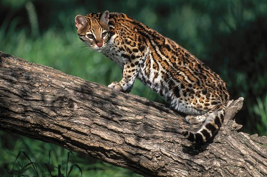 Stock Photo: 4141-6414 ocelot felis pardalis endangered species
