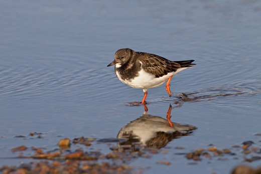 Turnstone Arenaria Interpres Bathing In Coastal Pool : Stock Photo