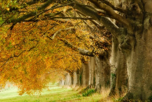 Beech Avenue Near Kingston Lacey House, Dorset, Uk November 2008 : Stock Photo