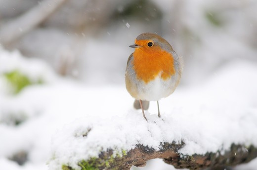 Stock Photo: 4141-64242 Robin In Snow. Dorset, Uk January 2010