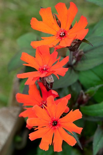 Stock Photo: 4141-64270 Lychnis X Arkwrightii 'Vesuvius'.
