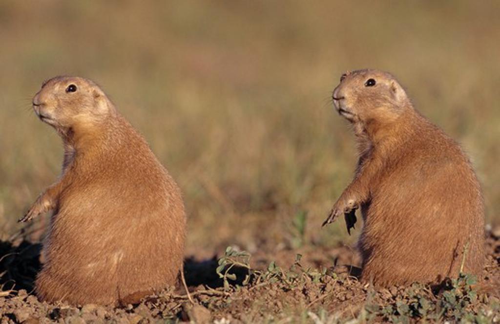black-tailed prairie dog cynomys ludovicianus two on lookout. south dakota, usa.  : Stock Photo