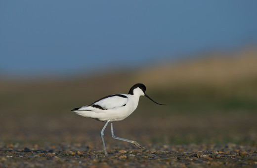 Stock Photo: 4141-64516 Avocet Recurvirostra Avosetta Norfolk Spring