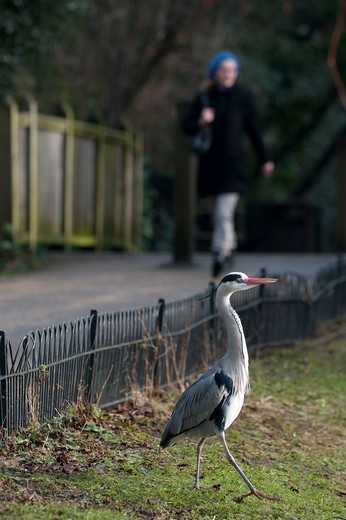 Stock Photo: 4141-64534 Grey Heron Ardea Cinerea Regents Park Central London Winter