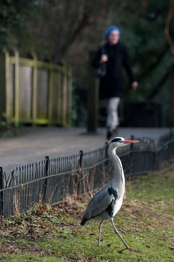 Grey Heron Ardea Cinerea Regents Park Central London Winter : Stock Photo