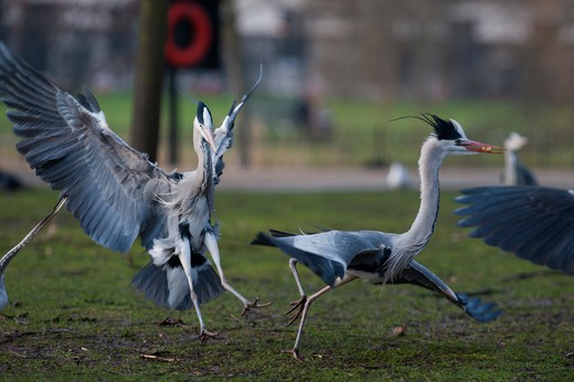 Grey Heron Ardea Cinerea Regents Park Central London Winter : Stock Photo