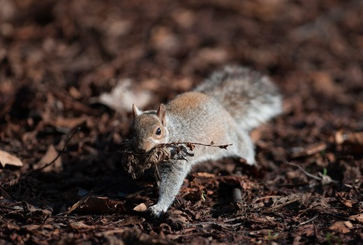 Stock Photo: 4141-64549 Grey Squirrel Sciurius Carlinensis Regents Park London