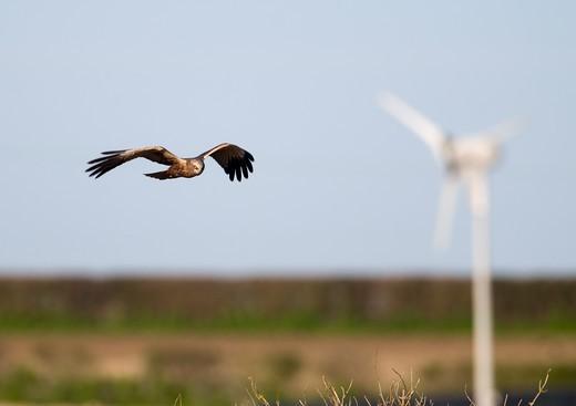 Stock Photo: 4141-64561 Marsh Harrier Circus Aeruginosus Male With Wind Turbine In Background Norfolk Spring