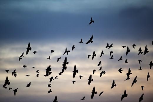 Rooks Corvus Frugilegus Arriving At Roost At Buckenham Norfolk Winter : Stock Photo