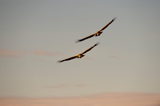 Stock Photo: 4141-64682 Griffon Vulture  Gyps Fulvus Catalonia Spain Winter