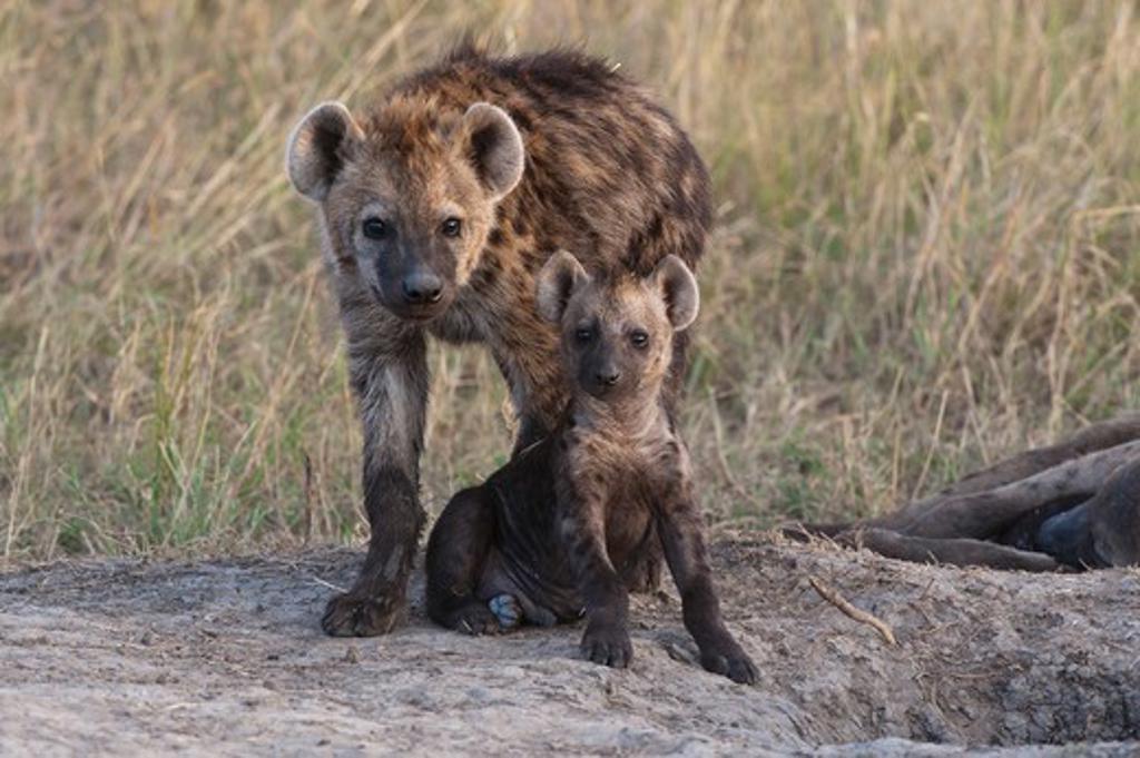 Spotted Hyena (Crocuta Crocuta) Adult And Young Outside Den Entrance. Maasai Mara Nr, Kenya, East Africa. : Stock Photo