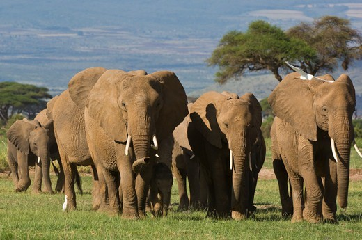 Stock Photo: 4141-64938 African Elephant Herd (Loxodonta Africana) Walking Towards Camera. Amboseli National Park, Kenya.