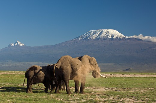 African Elephant (Loxodonta Africana) Dust Bathing With A Clear View Of The Two Snow-Capped Peaks Of Mount Kilimanjaro - Kibo And Mawenzi - In The Background. Amboseli National Park, Kenya. : Stock Photo