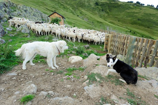 Stock Photo: 4141-65063 Brown Bear Management Programme. Pyrenean Mountain Dog And Sheep Dog. The Pyrenean Mountain Dog Lives With The Herd For All Of Its Life As Another Member Of The Herd. They Protect Sheep Against Bear Attacks. Pyrenees, Lleida. Spain.