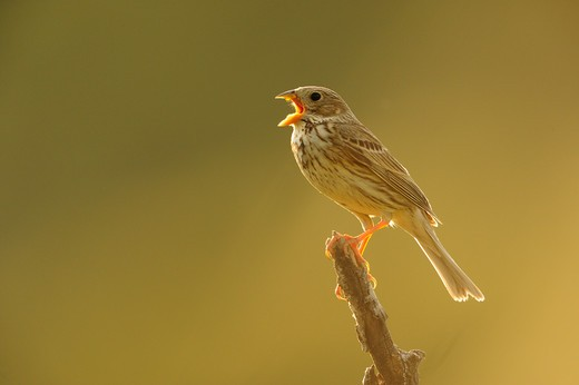 Stock Photo: 4141-65106 Corn Bunting (Miliaria - Emberiza Calandra) Singing. Lleida, Catalonia. Spain