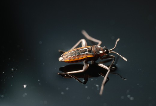 Stock Photo: 4141-65245 Water Cricket, Velia Caprai, Oxfordshire, Southern England