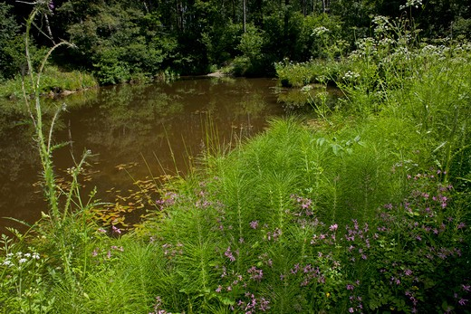 Stock Photo: 4141-65497 Woodland Pond, Weald Of Sussex June 2011 - Note Ragged Robin, Horse-Tail, Water Dropwort, Marsh Thistle, Buttercup And Speedwell.