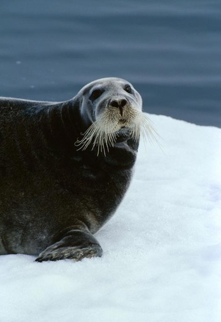 bearded seal on ice floe, close-up erignathus barbatus : Stock Photo