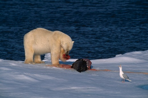 Stock Photo: 4141-6590 polar bear on seal kill ursus maritimus spitzbergen, norway.