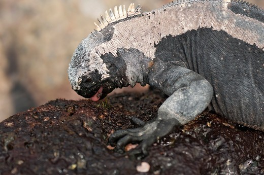 Stock Photo: 4141-66188 Marine Iguana (Amblyrhynchus cristatus hassi) feeding on algae, Santa Cruz island, Galapagos