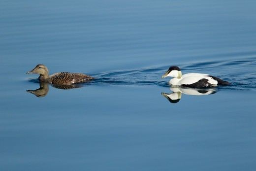 Stock Photo: 4141-66297 Common Eider - pair swimming Somateria mollissima Shetland, UK BI023536