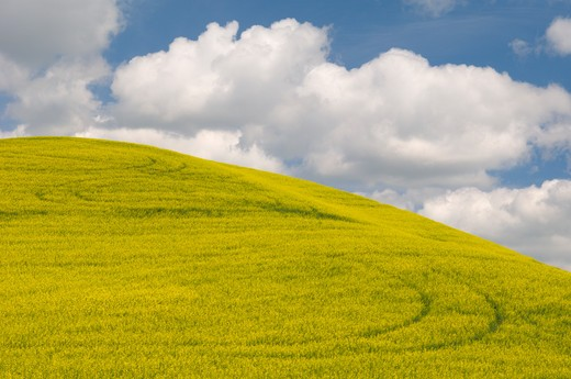 Stock Photo: 4141-6722 canola field with tracks near moscow, idaho usa
