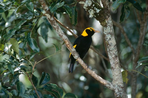 regent bowerbird male sericulus chrysocephalus lamington national park, australia. : Stock Photo