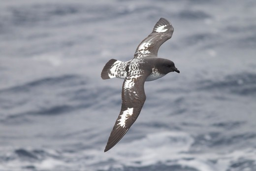 Cape Petrel, Daption capense, South Orkney Island Antarctic Peninsula, flying : Stock Photo