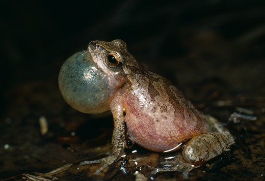 Stock Photo: 4141-6793 spring peeper frog singing hyla crucifier michigan, usa.