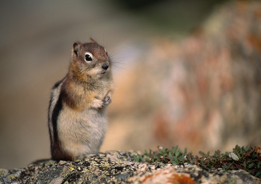 Stock Photo: 4141-6831 golden-mantled ground squirrel spermophilus lateralis banff national park, canada.