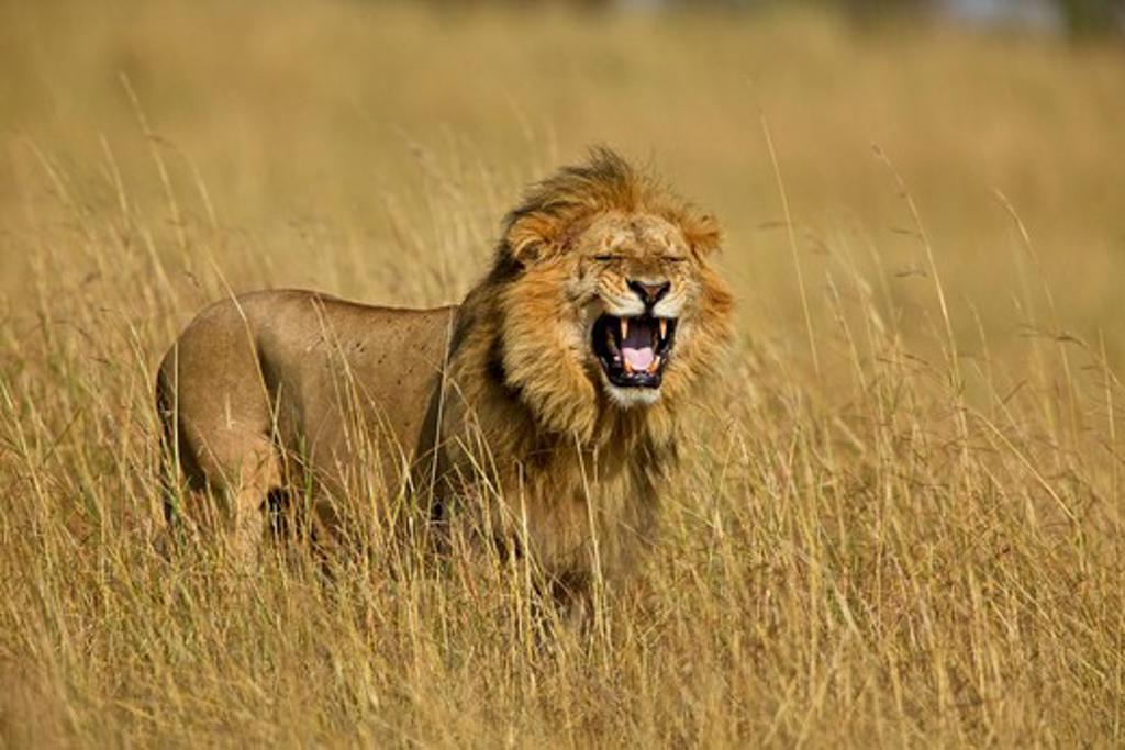 african lion panthera leo male flehmen gesture during mating to see if female in oestrous masai mara, kenya, africa : Stock Photo