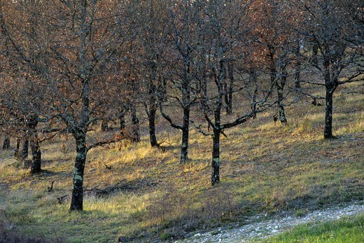 Stock Photo: 4141-69305 Truffle Pubescent oaks (Quercus pubescens) Lot & Quercy, France.         Feature text available - please contact sales@photoshot.com for more info