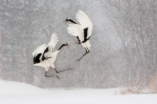 Stock Photo: 4141-7027 red-crowned or japanese cranes grus japonensis doing courtship dance during snowstorm japan
