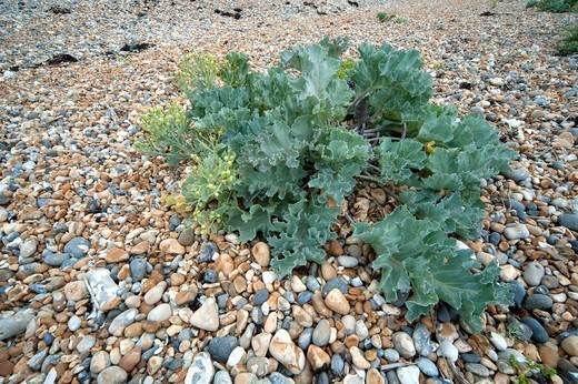 Stock Photo: 4141-71059 Sea Kale, Crambe maritima, Sandwich Bay, Kent UK - Kent Wildlife Trust, is a halophytic perennial plant, halophyte is a plant that grows in waters of high salinity