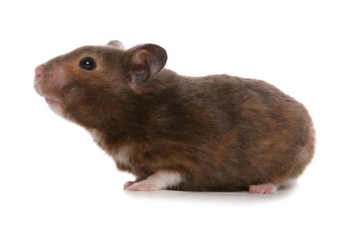 Stock Photo: 4141-72763 Syrian Hamster Portrait of single adult Studio, UK