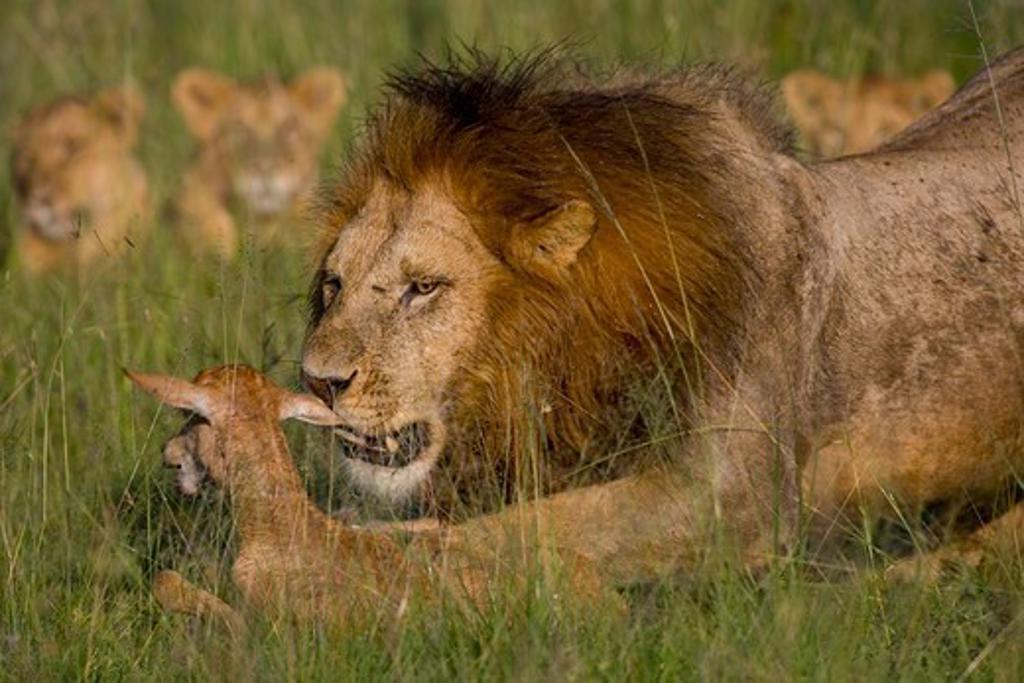 Lion (Panthera lio) and topi (Damaliscus korrigum), series of pictures, Masai Mara National Reserve, Kenya : Stock Photo