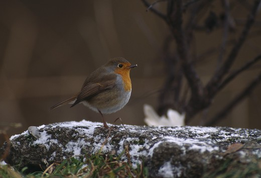 robin on frosted rock erithacus rubecula canton of zurich switerland. : Stock Photo