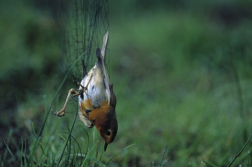 robin erithacus rubecula caught in mist net for ringing canton of zurich switzerland. : Stock Photo
